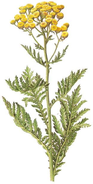 Plantas medicinales y ornamentales tanaceto for Plantas medicinales y ornamentales